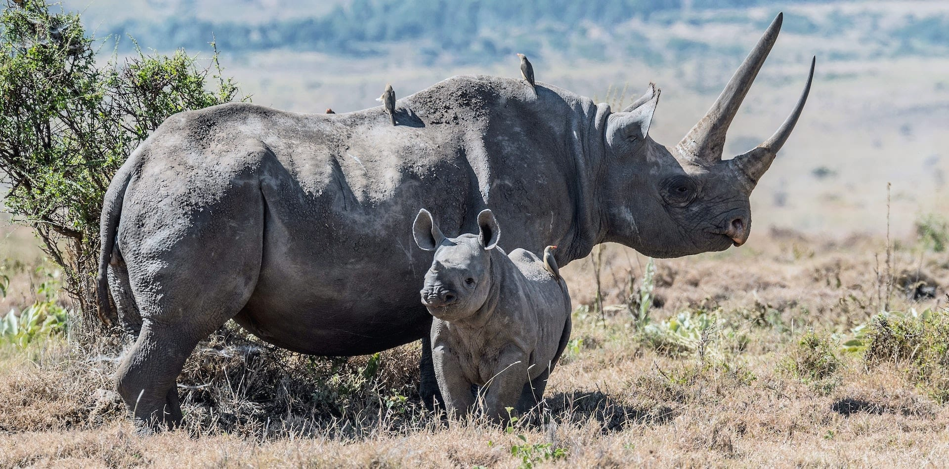 Healthy mother and baby rhino as a result of field rangers