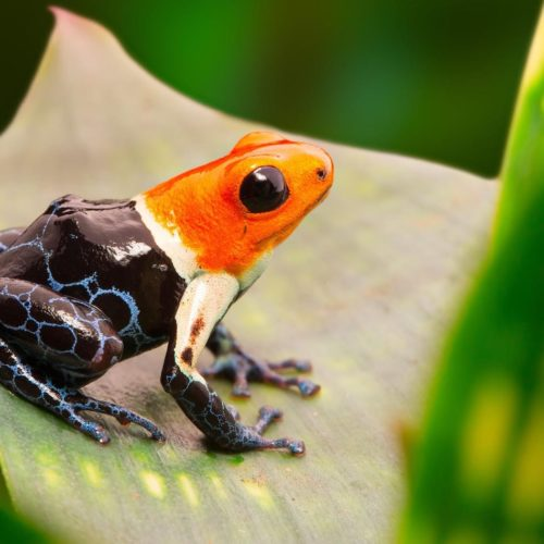 Hero Image Poison Dart Frog in the Peruvian Amazon