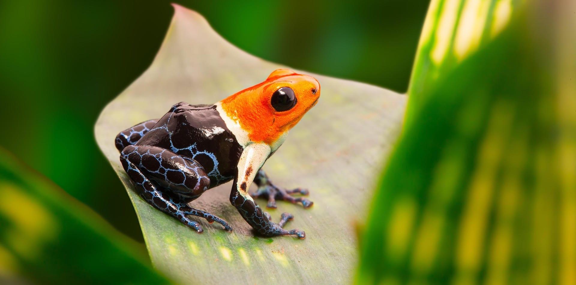 Hero Image Poison Dart Frog in the Peruvian Amazon