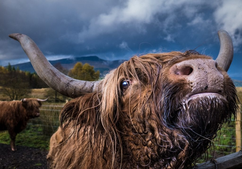 inquisitive highland cow in Scotland