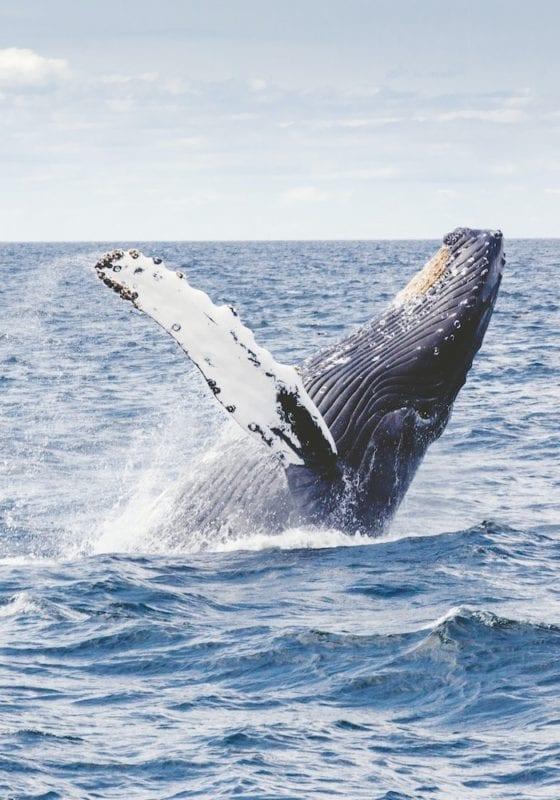 Humpback Whale Breaching in Panama