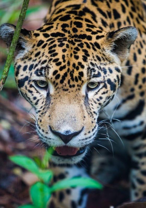 Close Up Image Jaguar Peruvian Amazon Wildlife