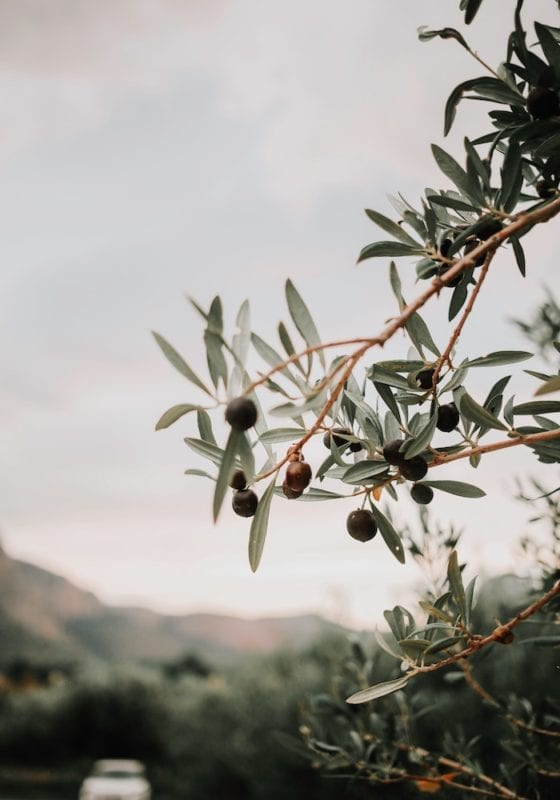Olive Groves in Italy