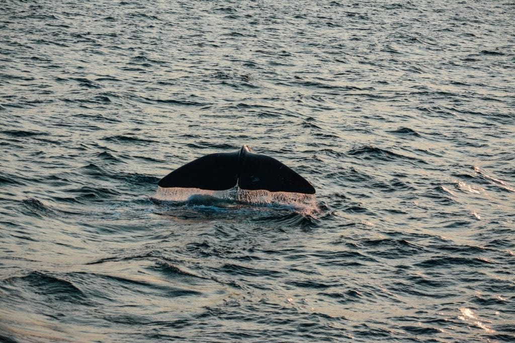Orca Dips Back Below the Surface in Norway