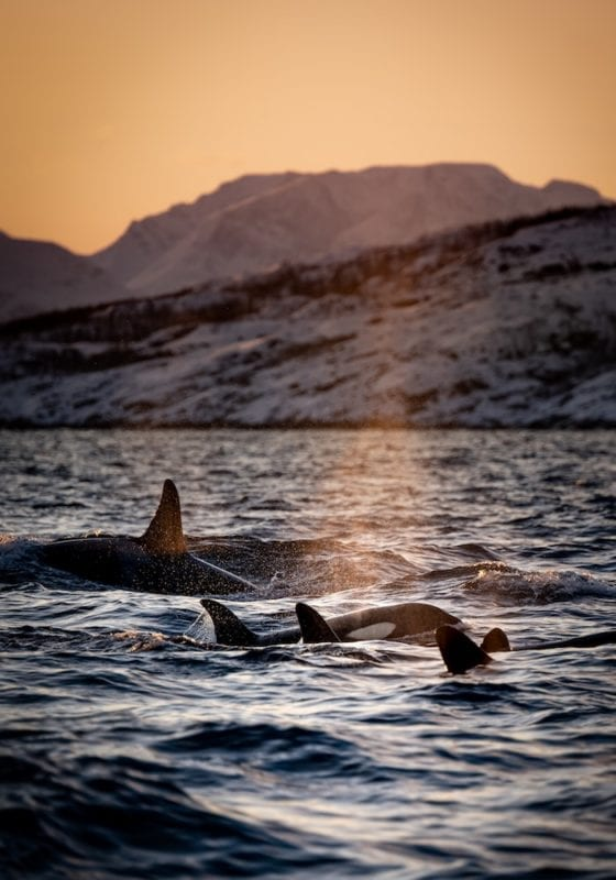 Orcas at Sunset in Norway