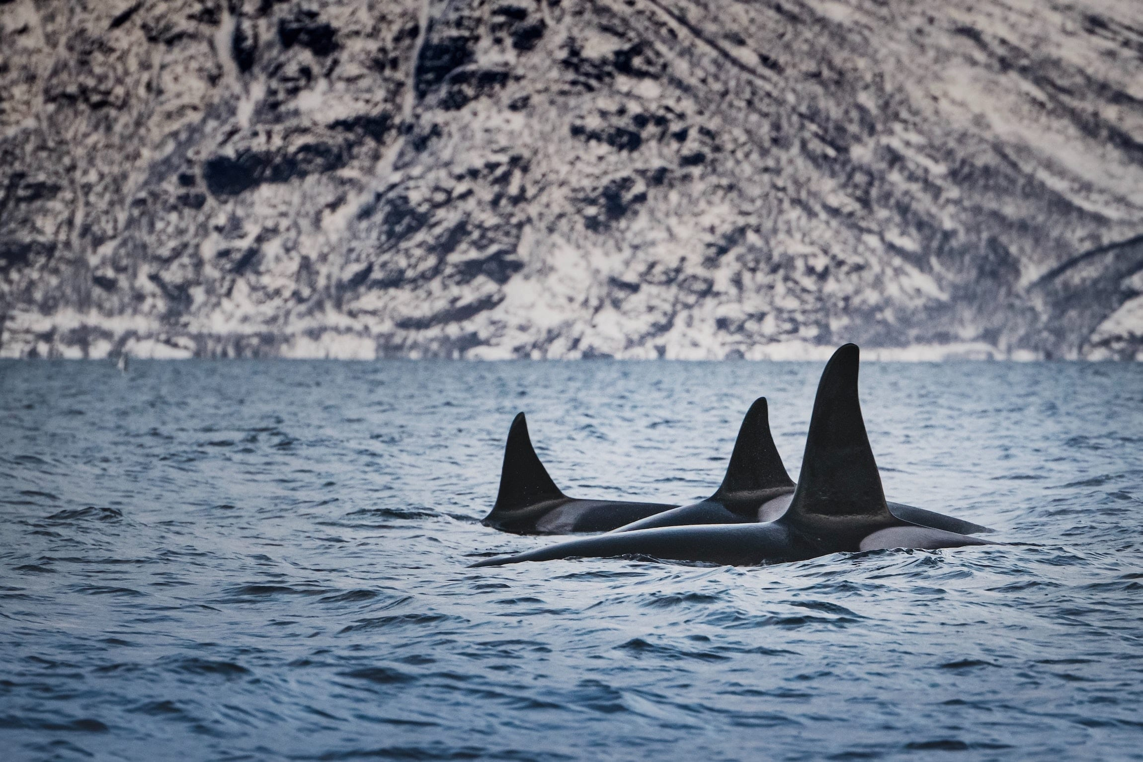 Orcas Swim Together Side By Side in Lofoten Norway