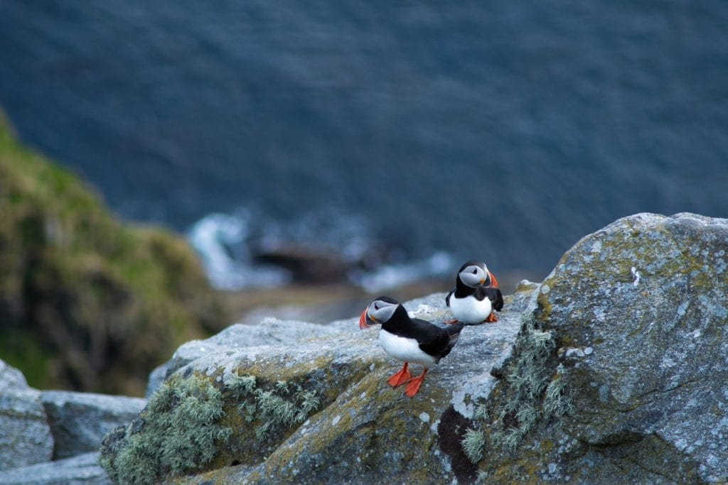 Puffins on Runde Island in Norway