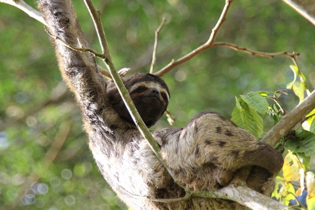 Sloth in a tree in the Peruvian Amazon Wildlife
