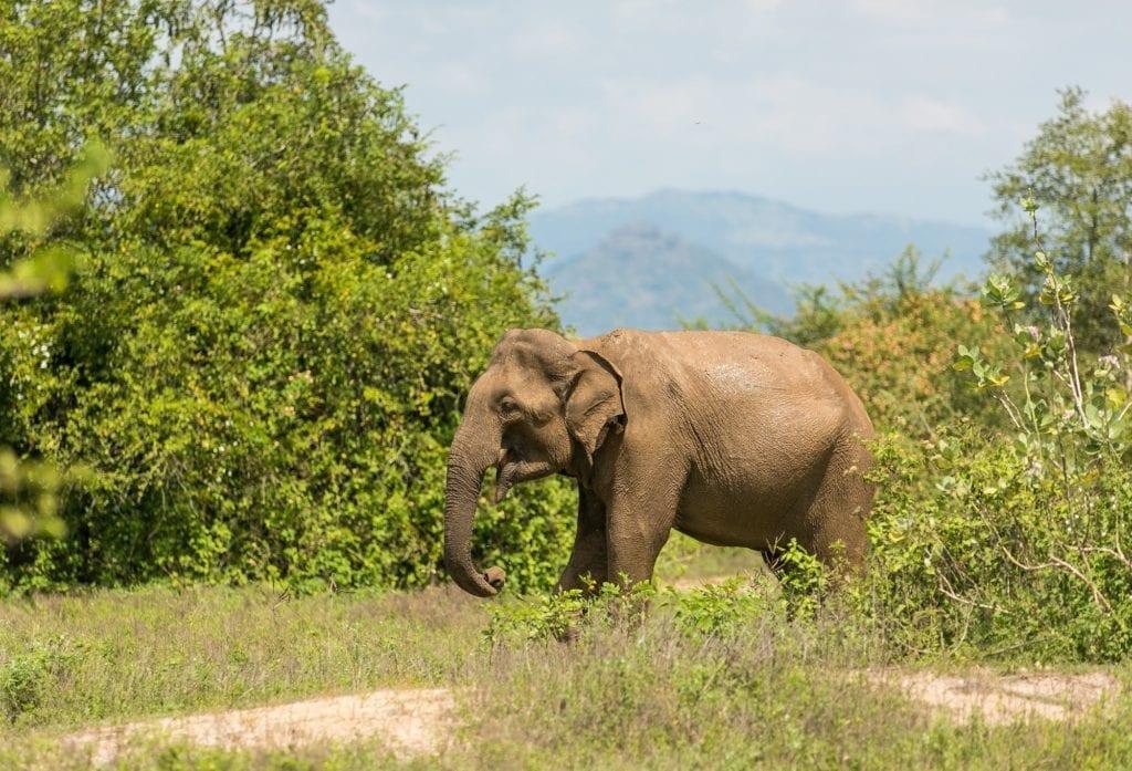 Udawalawe National Park Elephant in Sri Lanka