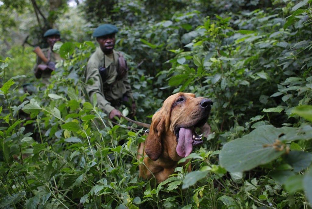 rangers dog virunga national park