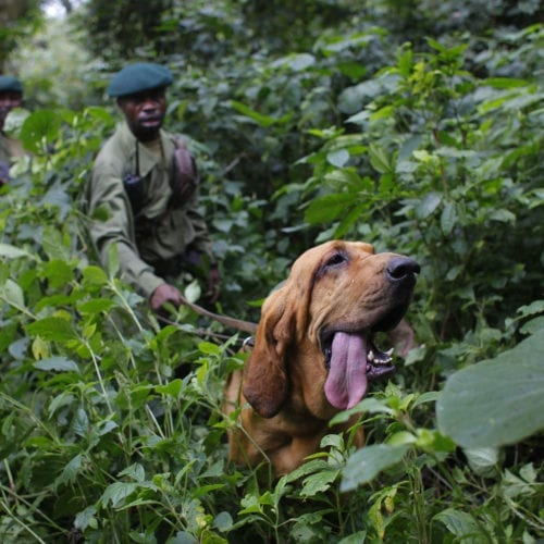 rangers dog virunga national park