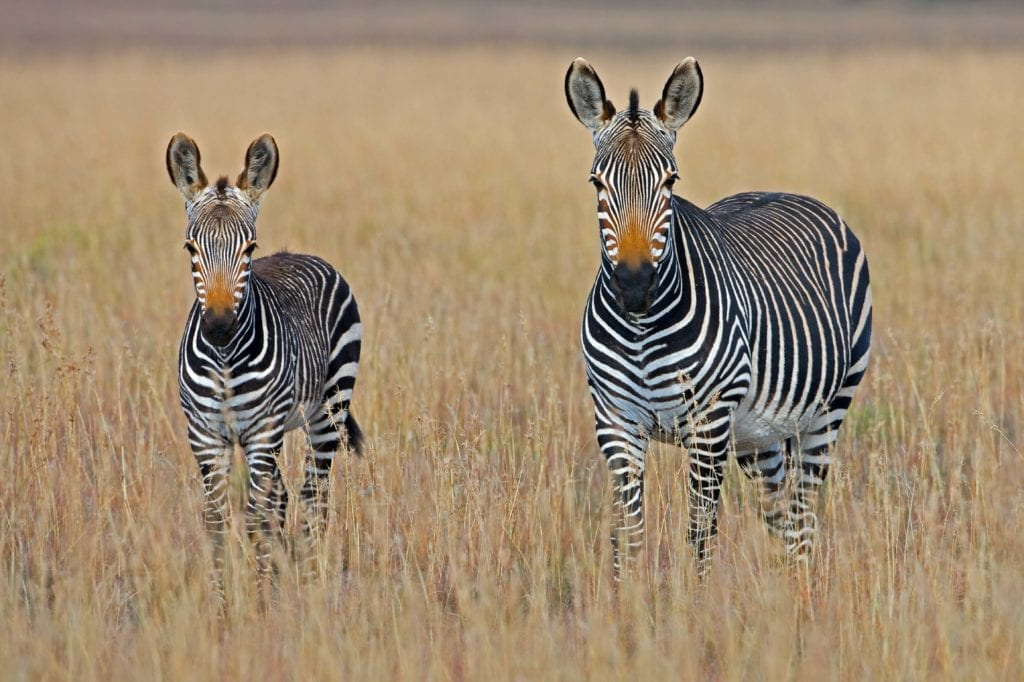 Twin zebras spotted in the African Grasses