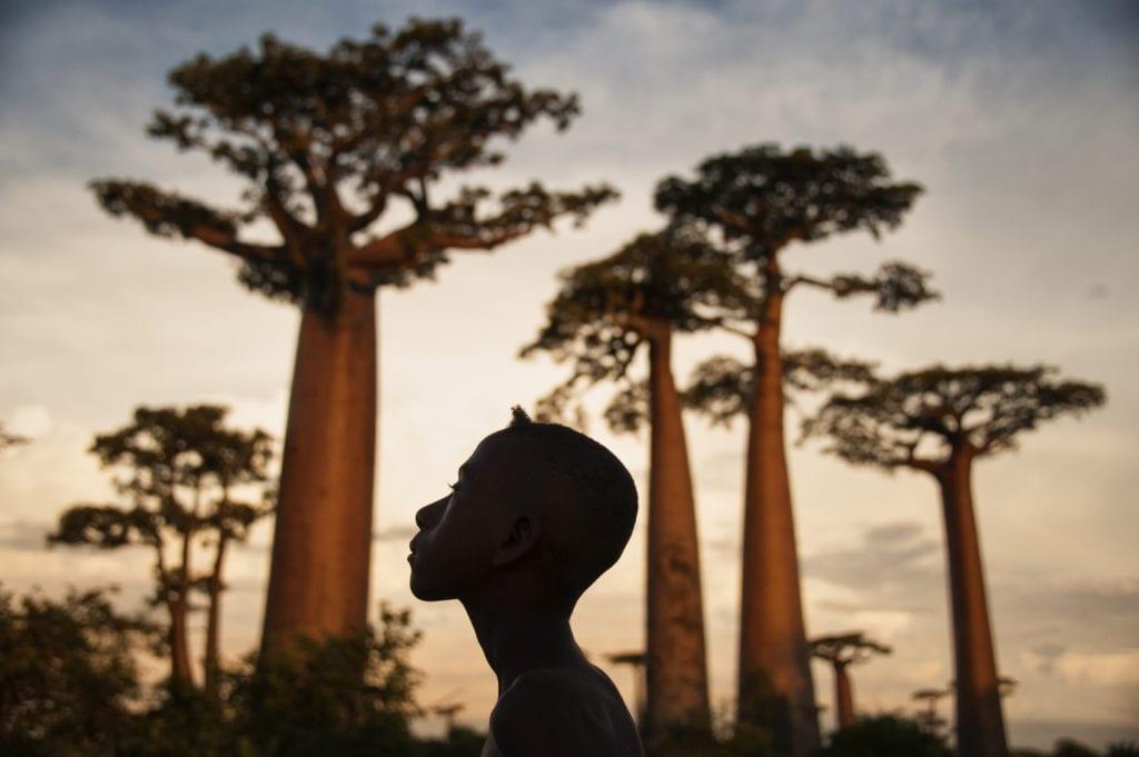 Baobabs at Sunset in Madagascar