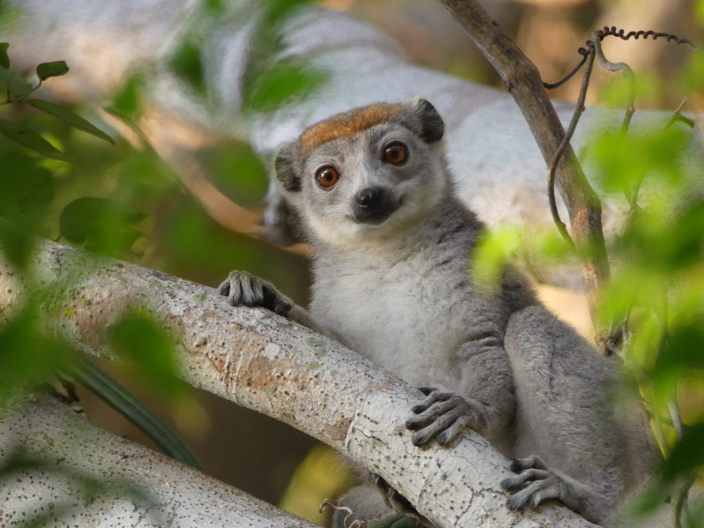 Close up Lemur in the trees of Madagascar