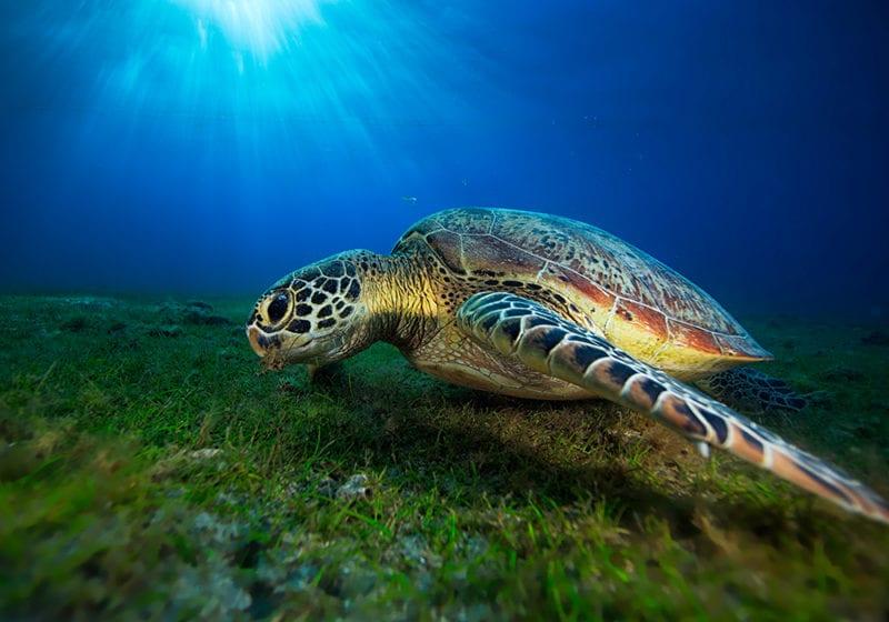 Turtle Underwater on the Sea Floor in Madagascar