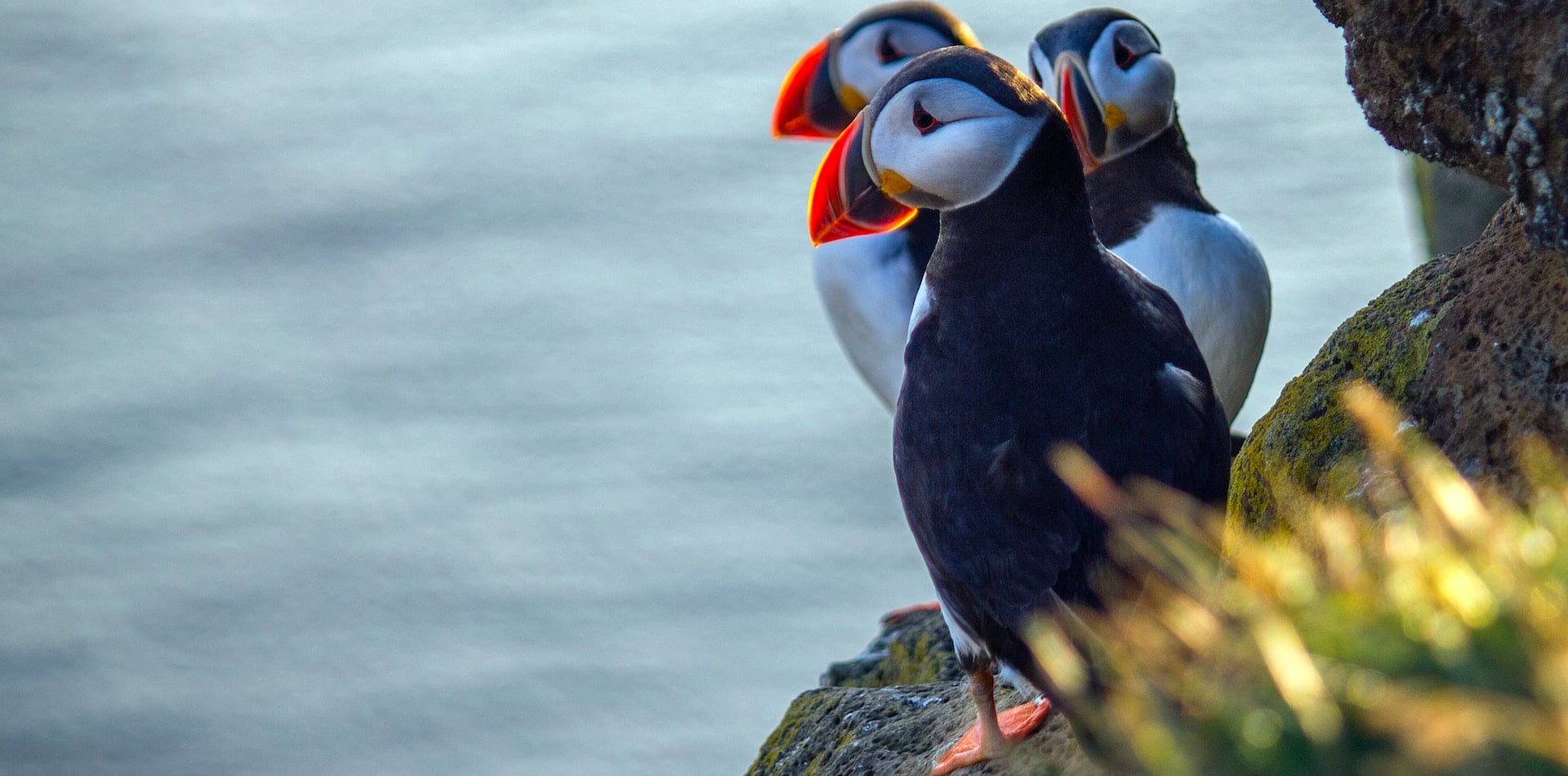 Puffins perched on a cliff edge in Scotland, UK wildlife safari