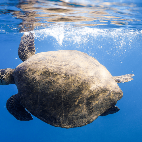 swimming sea turtle underwater ocean