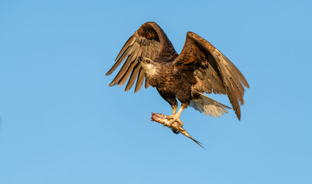 Fish Eagle with its Prey in Madagascar