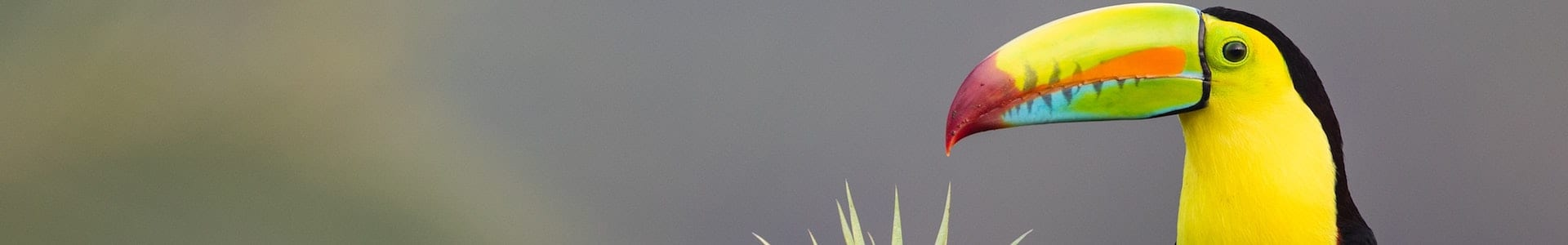 Toucan, Costa Rica, Latin America