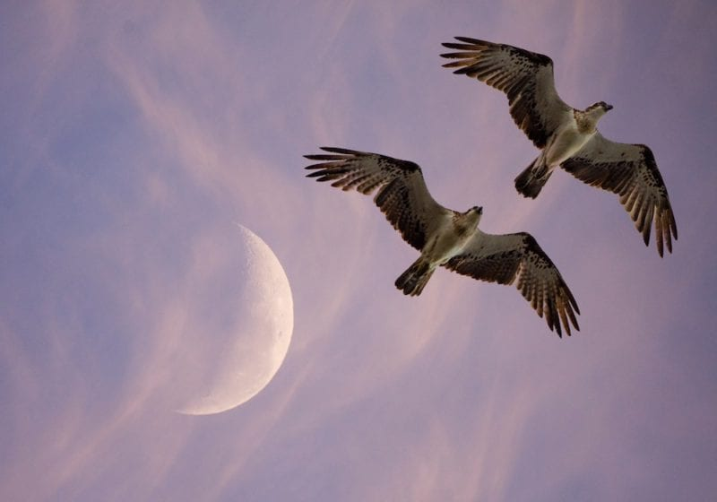 Looking up at the wingspan of two osprey's beneath the crescent moon at sunset