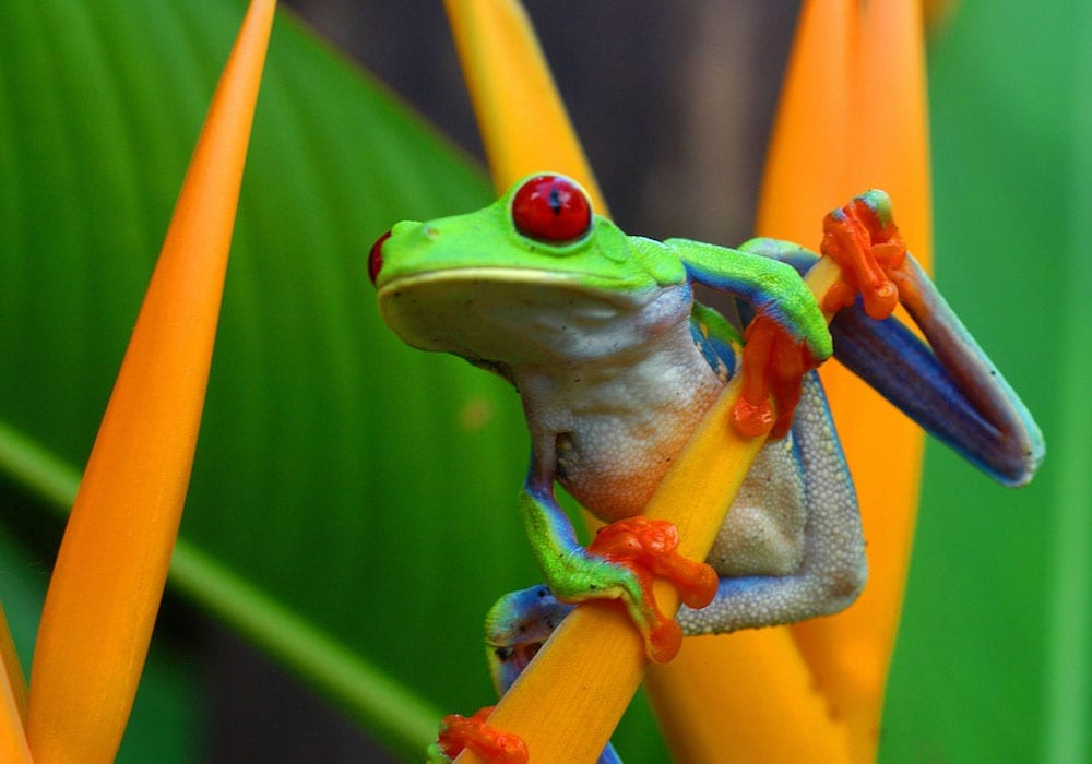 Costa Rican Wildlife Frog