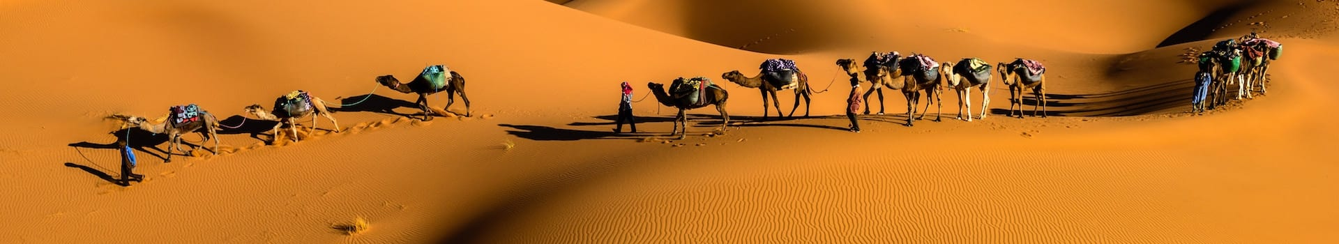 Camels in Morocco, North Africa