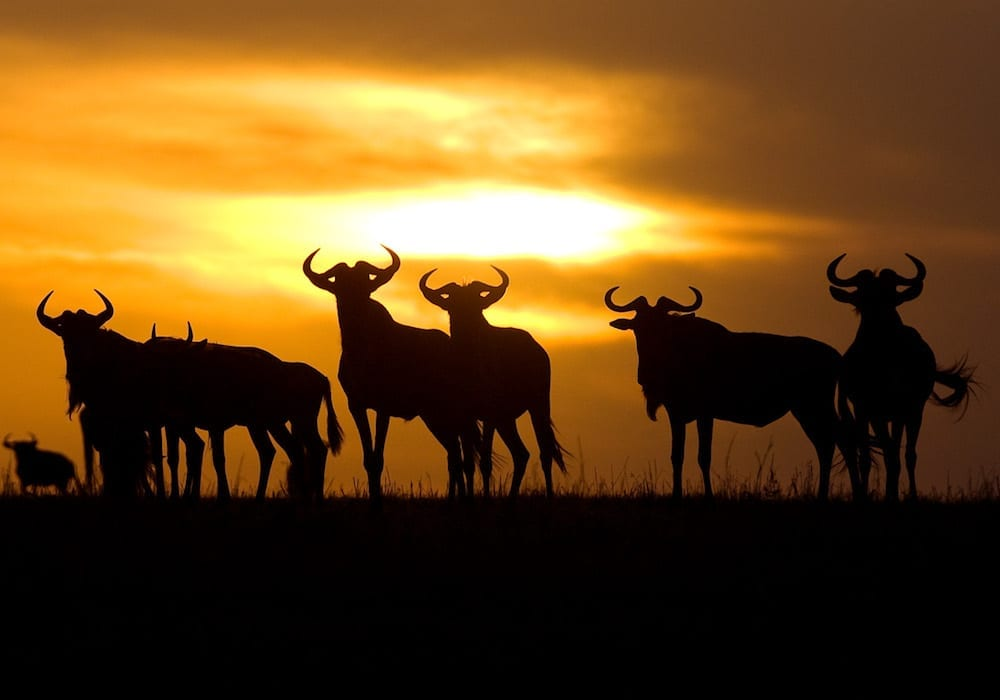 Wildebeest at Sunset, Ubuntu Migration Camp, Tanzania, Africa